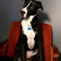 Lucy, a black and white dog, sitting majestically on a red velvet seat, with her head slightly tilted