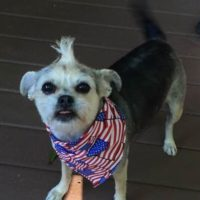 Little dog with a mohawk hair style wearing an american flag bandana