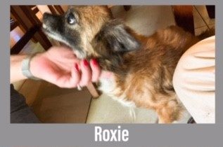 Roxie the Dog, a 13 pound dog, who is brown and black.  she is getting pet on her chin.