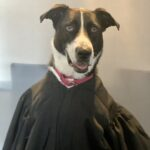 Lucy the black and white Border Collie mix wearing a black judges robe