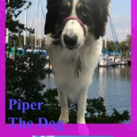 Picture of a border collie, with a white body and a black and white head superimposed on a picture of boats on a dock, with the words, Piper The Dog vs. Boca Ciega Yacht Club