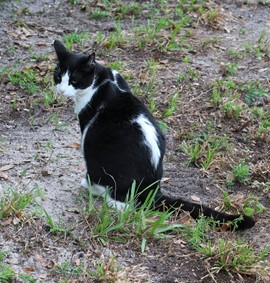 A black and white cat sitting in a grassy field
